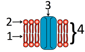 04_simple-numbered-membrane